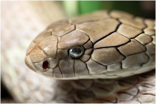 Las 10 serpientes más venenosas del mundo.