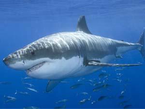 1. Tiburón Blanco