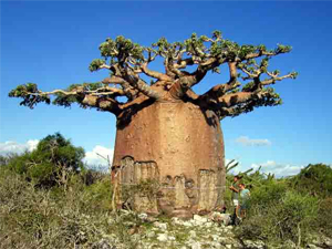 1. Baobab