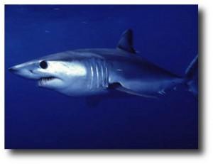 10. Tiburon Mako