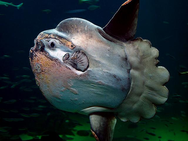 pez Mola