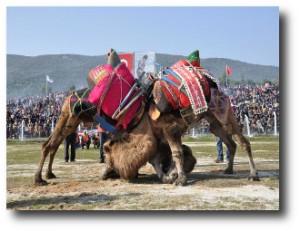 7. Lucha de camellos