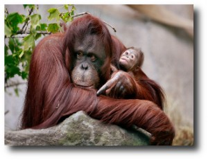 3. Orangutanes