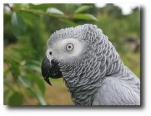 5. Loro gris africano