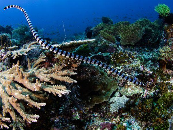 Serpiente marina rayada