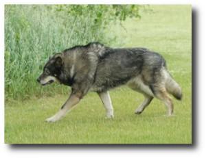 5. Wolf-Dog Hybrid