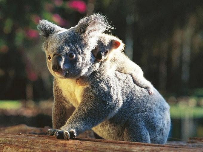 Mamá koala