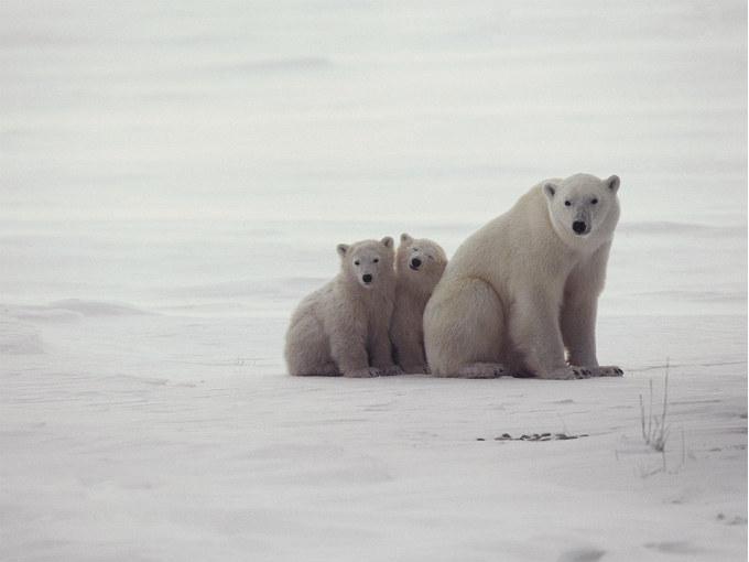 Mamá oso polar