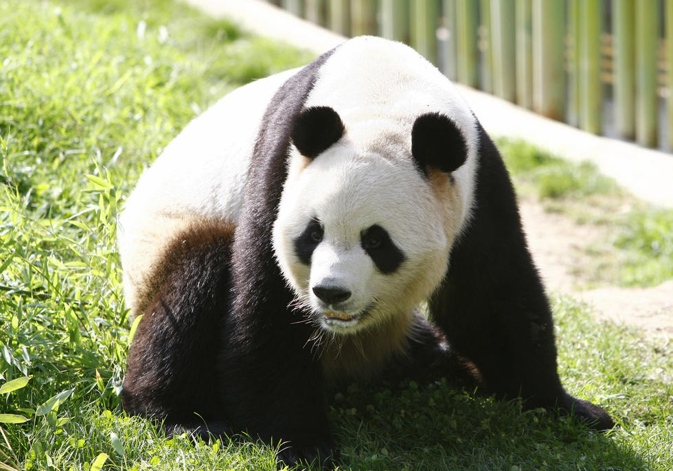 Bingxing, a 7-year old male panda takes