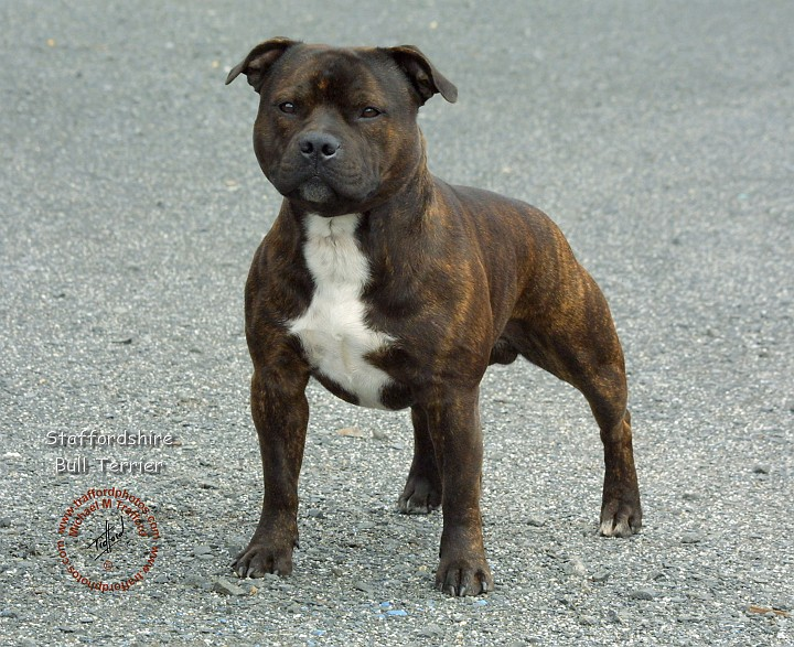 Staffordshire Bull Terrier Vs Pit Bull | Beautiful Scenery Photography