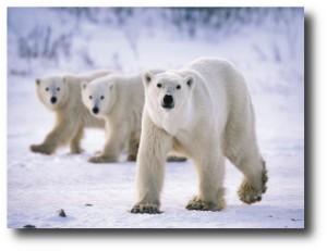 10. Oso Polar