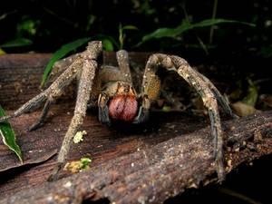 Las 10 arañas más venenosas del mundo