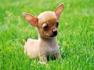 Las 10 razas de perros más pequeños en el mundo