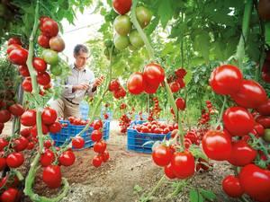 9. Tomates