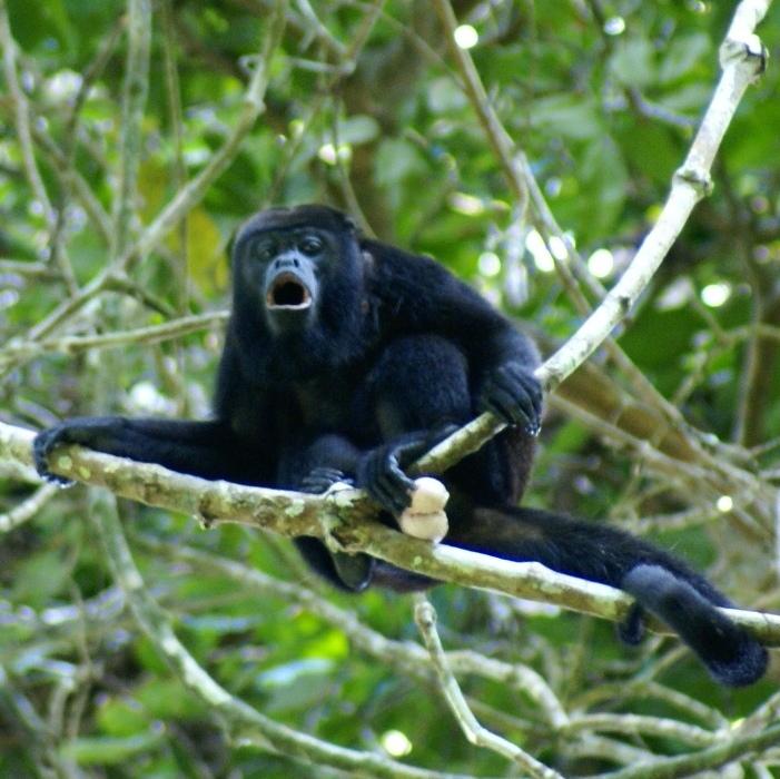El mono aullador