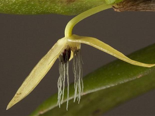 La orquídea de la noche