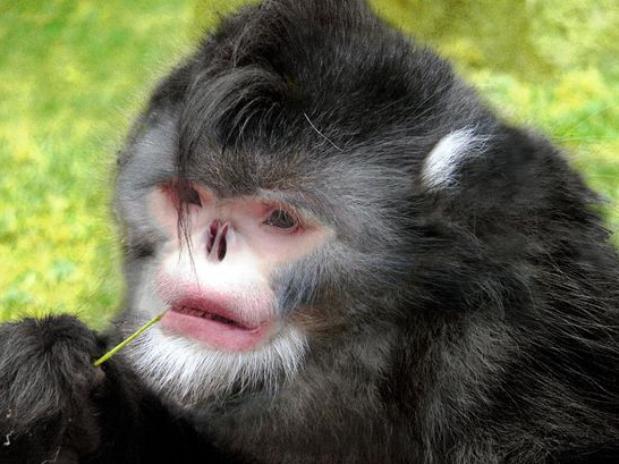 Mono de de nariz chata