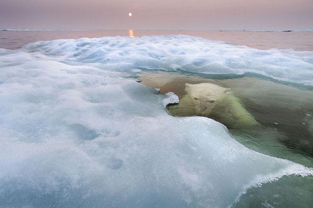 Oso polar en la Bahía de Hudson, Canadá