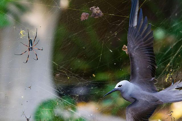 Pájaro atrapado en una tela de araña en las Islas Seychelles
