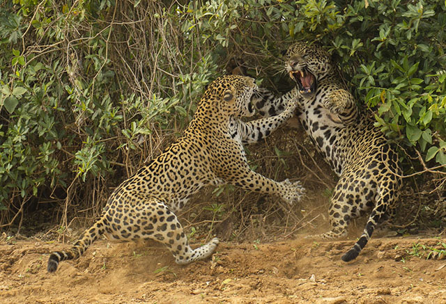 Pelea entre jaguares en el Pantanal de Brasil