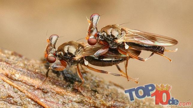 mosca de ojos telescópicos