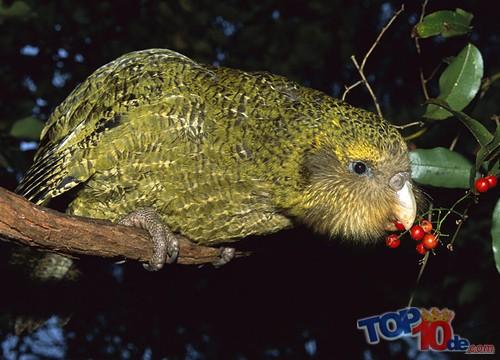 El kakapo