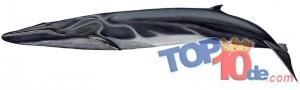 La ballena de  aleta