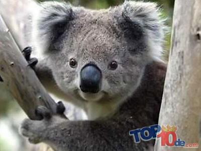 Osos koalas