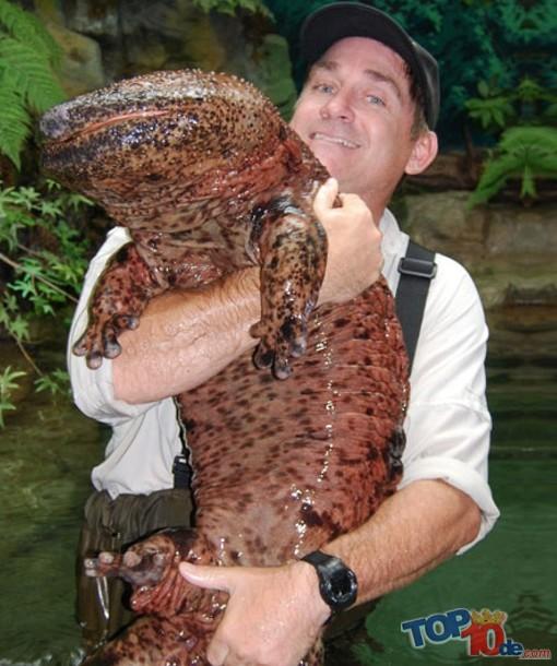 la  salamandra  gigante